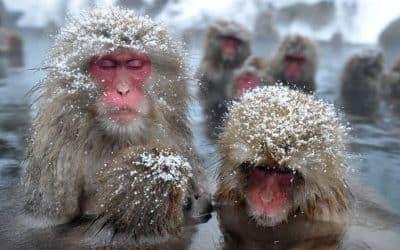 Snow Monkey Hot Tub – Central Park Zoo