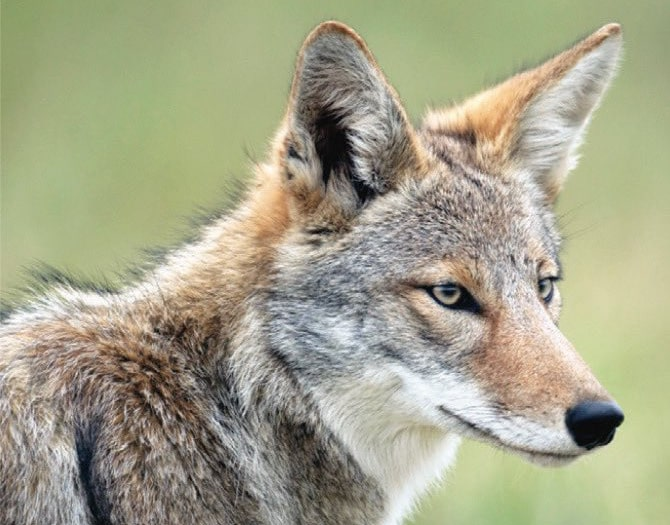 Coyote Sightings in Central Park