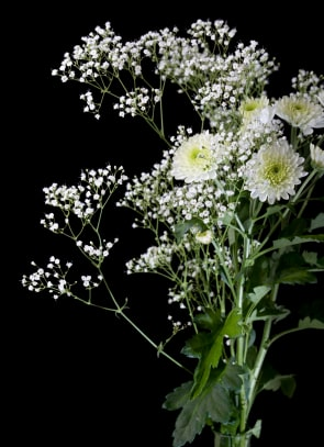 Crysanthemums and Baby's breath