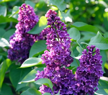 French Lilacs