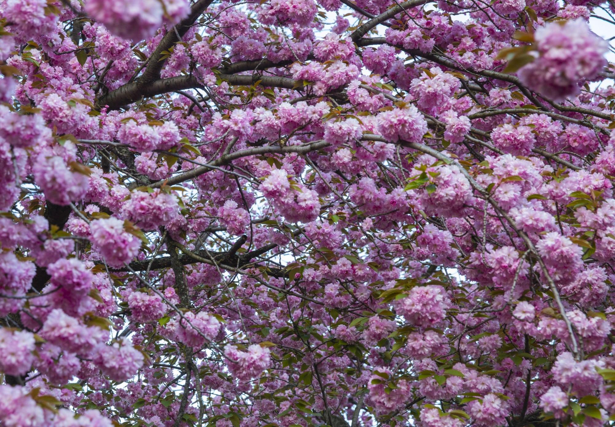 Yoshino Cherry - Central Park